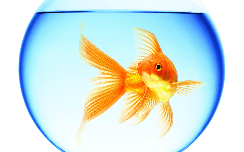 goldfish_swimming_aquarium_round_water_reflection_white_background_free_download-1 (1)